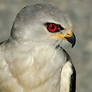 Black Shouldered Kite by Macky