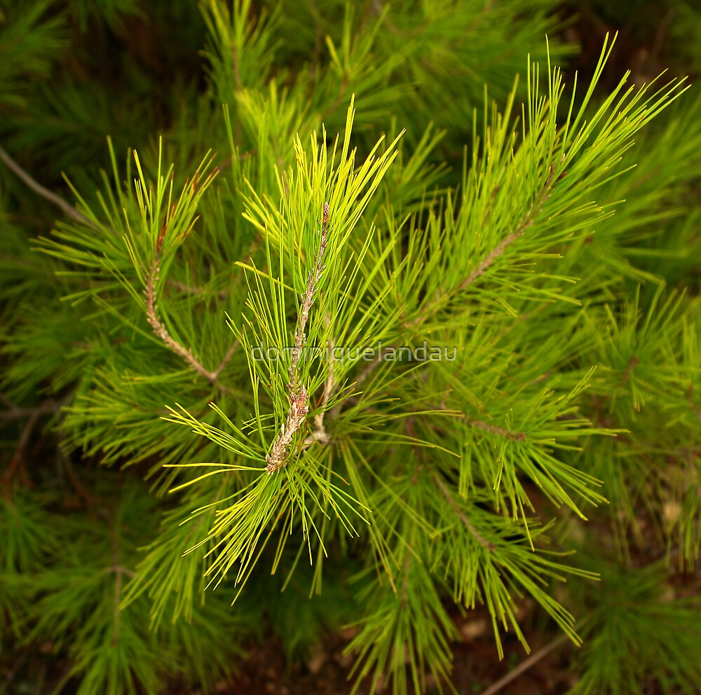 fresh pine by dominiquelandau