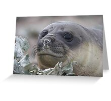 Angel Eyes  ~  Female Southern Elephant Seal Greeting Card