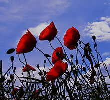 Poppies by nazboo