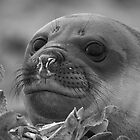 Angel Eyes  ~  Female Southern Elephant Seal by Robert Elliott