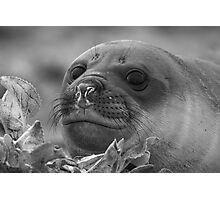 Angel Eyes  ~  Female Southern Elephant Seal Photographic Print