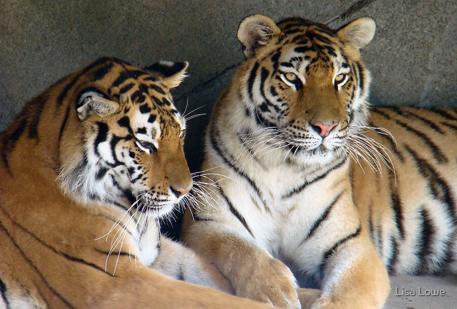 Two Tigers by Lisa Lowe