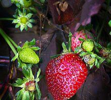 Strawberry by Paul Gilbert