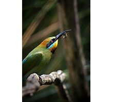 Rainbow Bee Eater Photographic Print
