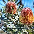 Firewood Banksia by garts