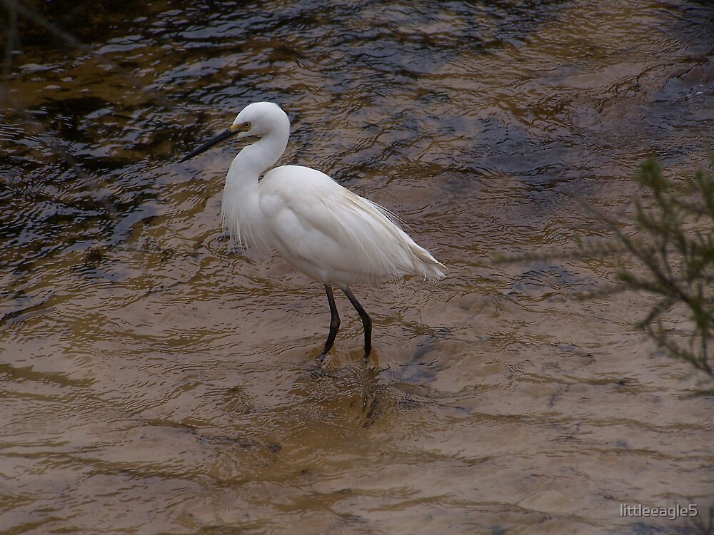 Little white heron, Fraser Island by littleeagle5