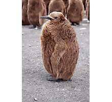 "King Penguin chick ~ ""Mirror Mirror on the wall, who's the........"" Photographic Print"
