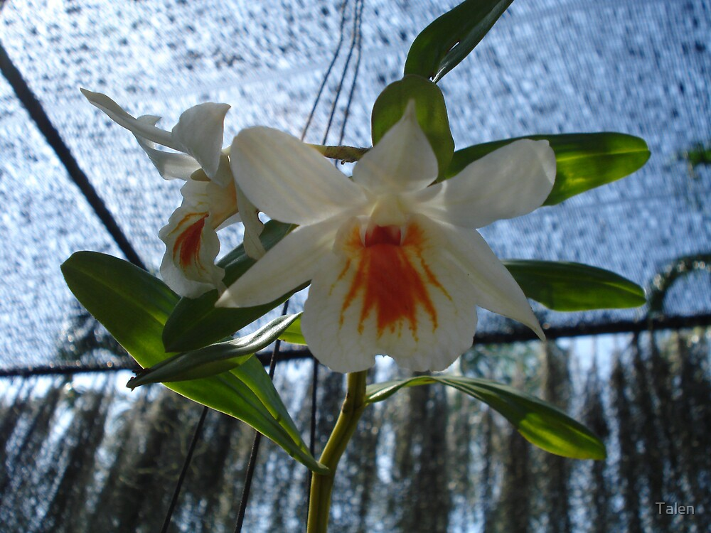 Orchid in White and Orange by Talen