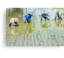 Paddy Field 1(2) Canvas Print