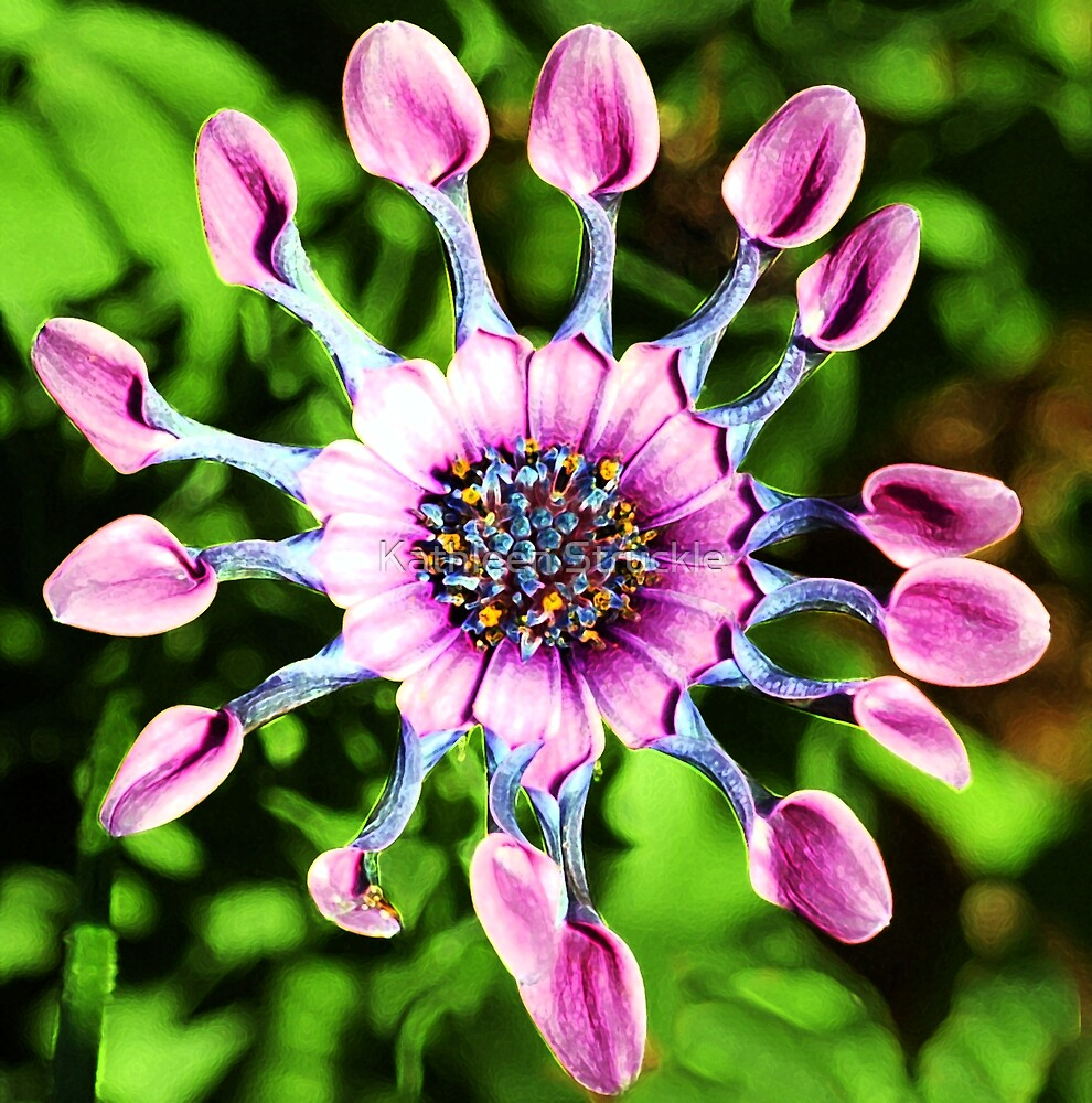 Pink Indian Daisy by Kathleen Struckle