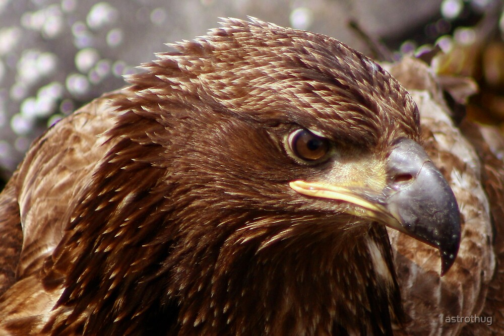 juvenile Eagle by astrothug