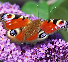 Madam Butterfly by punch