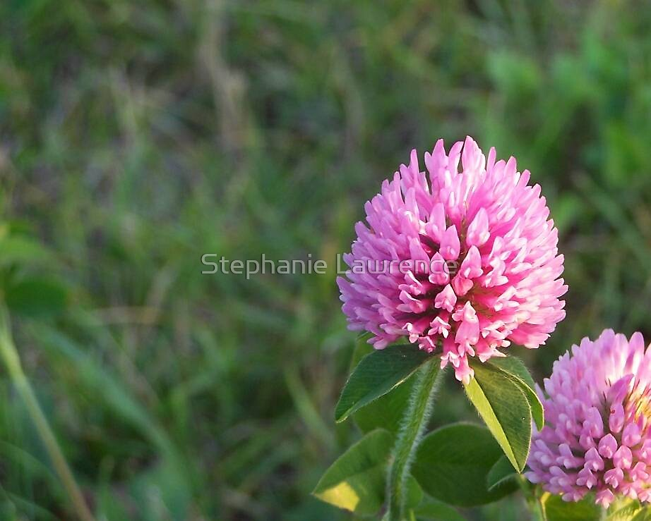Clover Bloom by Stephanie Lawrence
