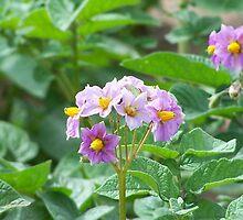 Potato Flower by Stephanie Lawrence