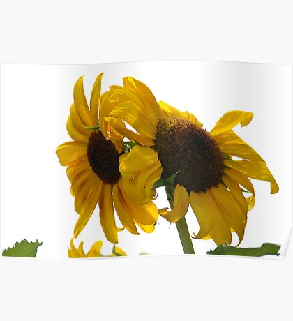 Ragged Sunflowers Poster