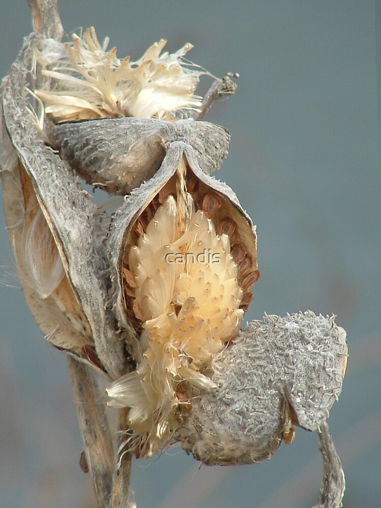 milk weed pods by candis