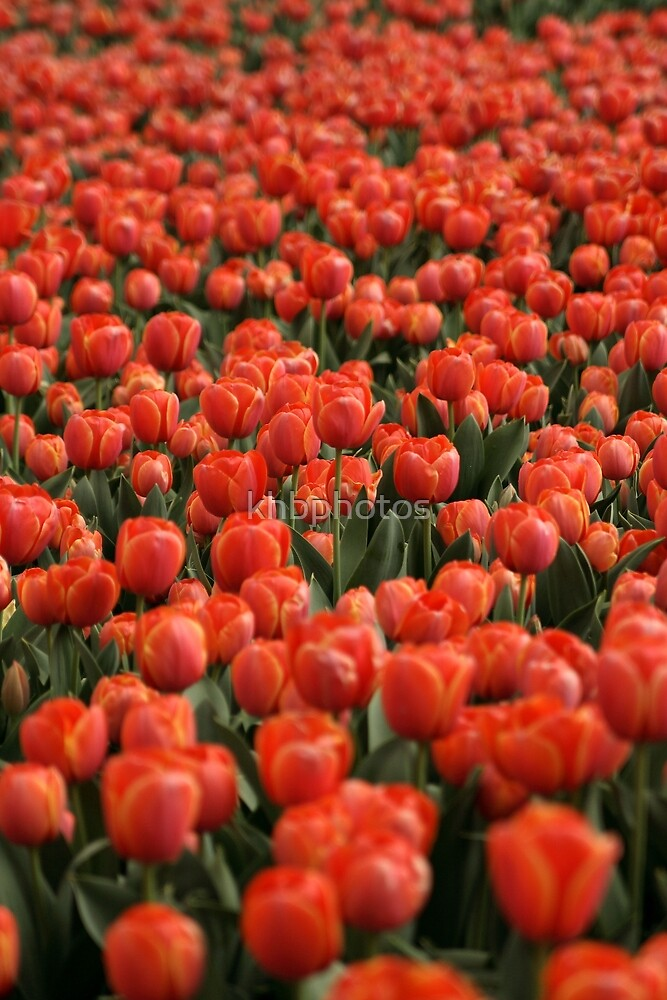Highlands Tulips by khbphotos