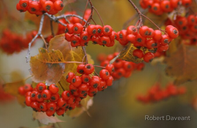 Red Berries by Robert Daveant