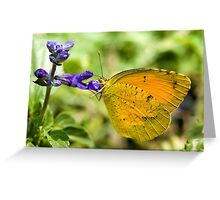 Orange-Barred Sulphur Butterfly Greeting Card