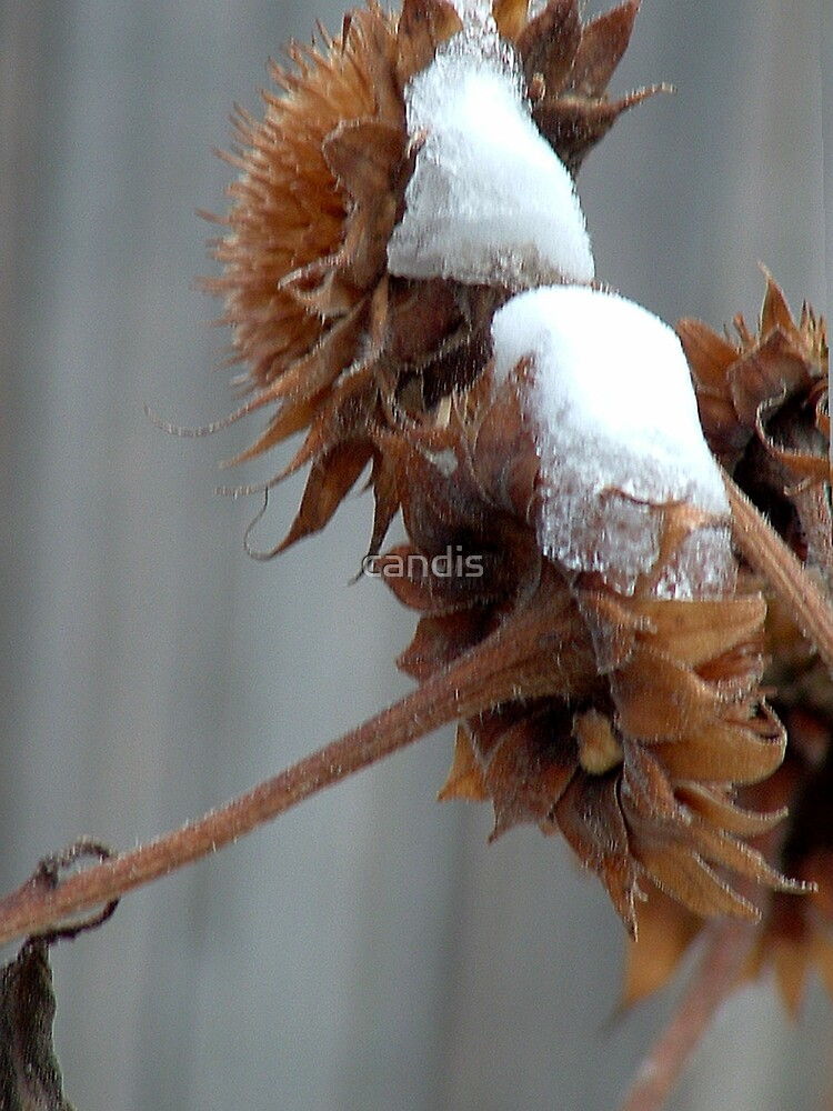 snow on sunflower  by candis