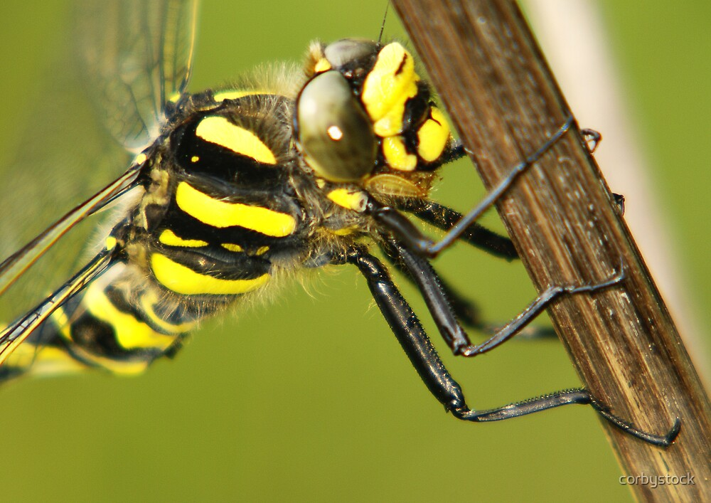Yellow Dragonfly by corbystock