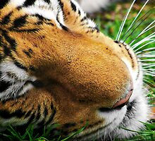 Bengal Majesty by Greg Riegler