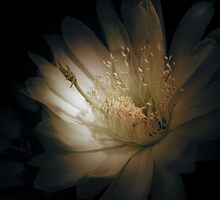 Cereus Bloom by giselle