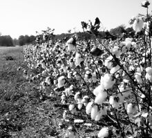 Cotton by garain
