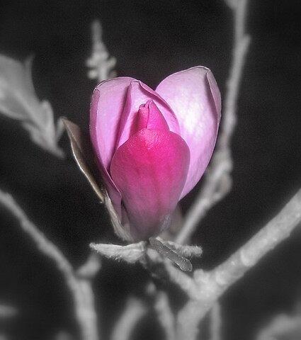 Japanese Magnolia by garain