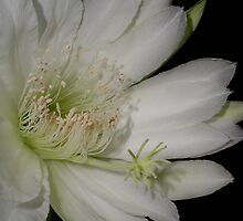 Cereus Bloom 2 by giselle