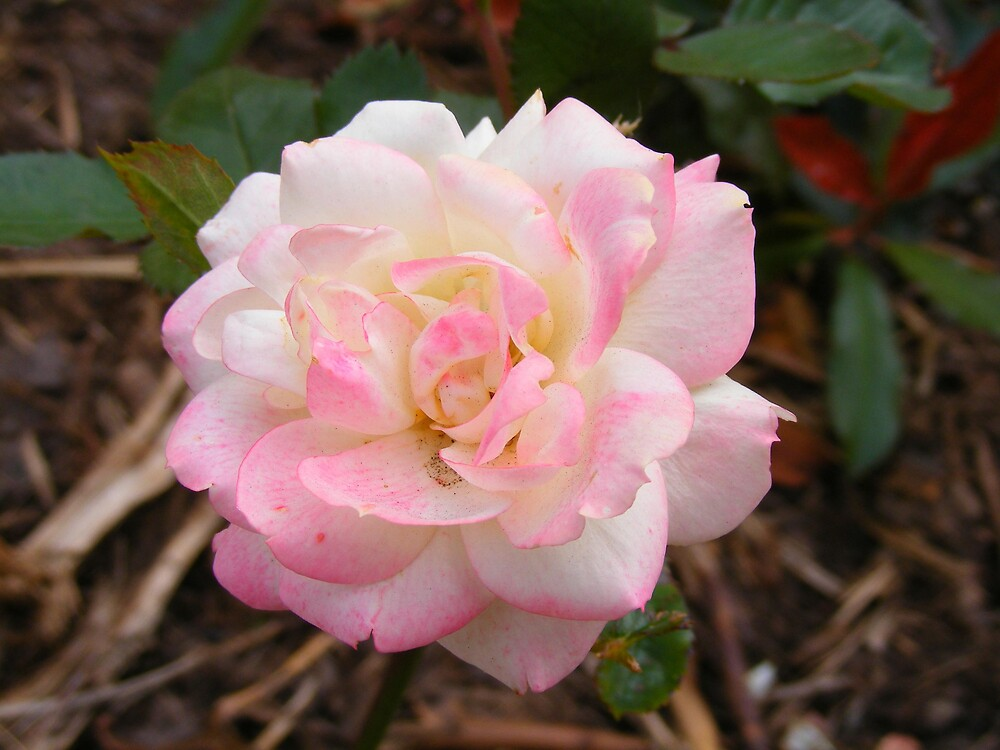 A Spring Rose by terryk