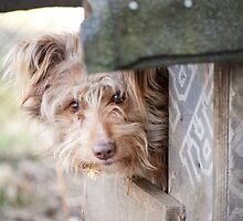 bad dog head jut out of kennel  by Arletta Cwalina