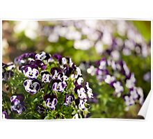 Purple white Viola or pansy variegated flowers  Poster