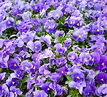 pansy flowers blooming  by Arletta Cwalina