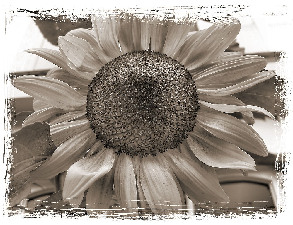 Sunflower by mmrich