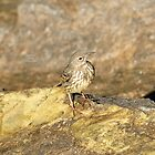 """"""" Rock Pipit Shadow """" by Richard Couchman"""