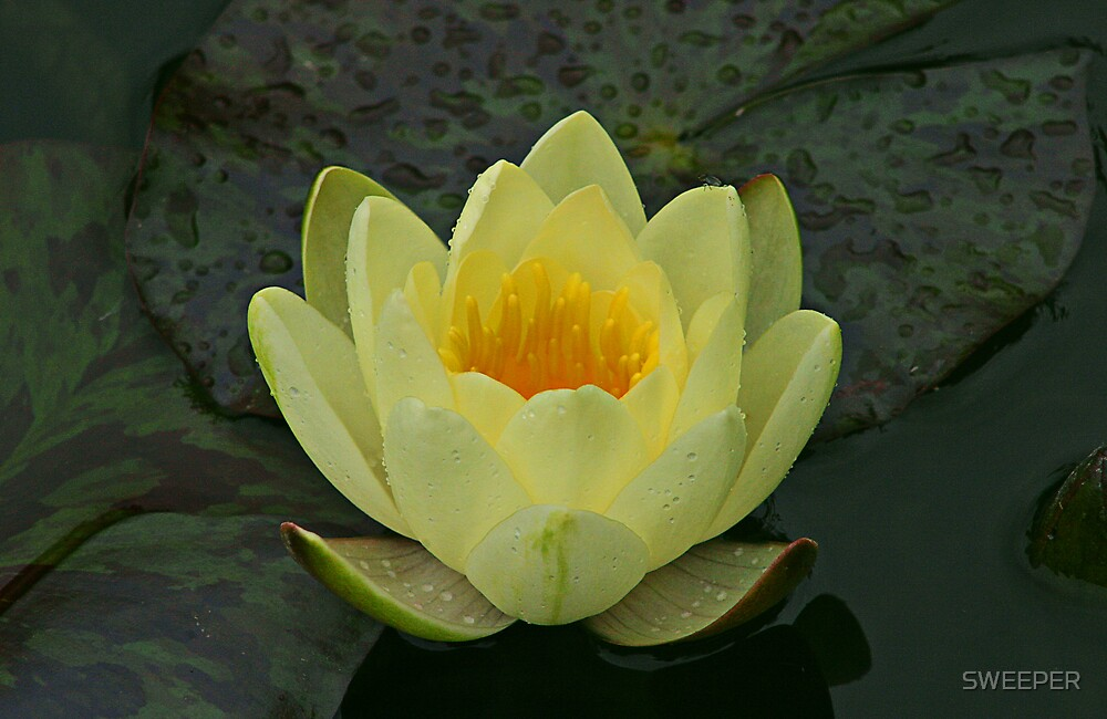 Water Lilly White by SWEEPER