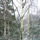 Iced Birches and Pine Trees by HELUA
