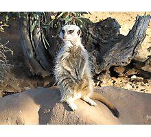 Meerkat Watch Photographic Print
