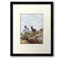 Yellow-Footed Rock Wallaby Framed Print