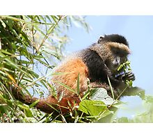 Golden Monkey Photographic Print