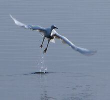 Little Egret in flight by Sharon Perrett