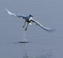 Little Egret in flight by Sharon Perrett