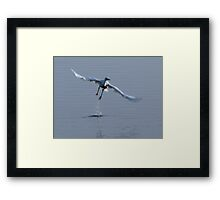Little Egret in flight Framed Print