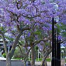 Jacaranda Blooms by Giselle Nguyen