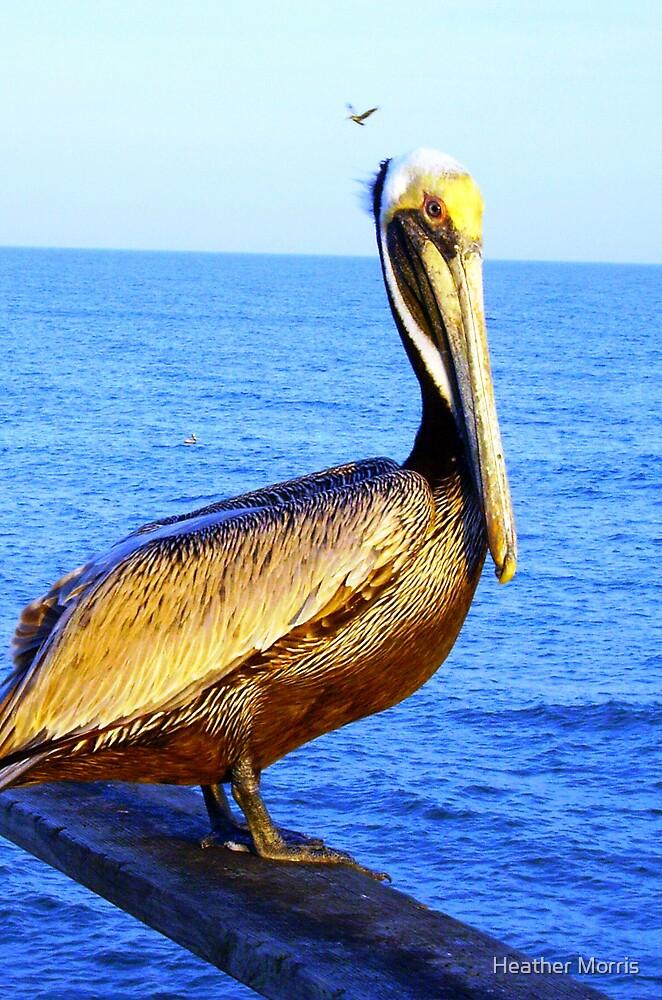 Pelican by Heather Morris