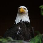 Sheltered Eagle by zpaperboyz