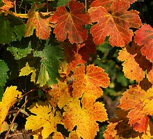 Autumn colors in the vineyard by Patrick Morand