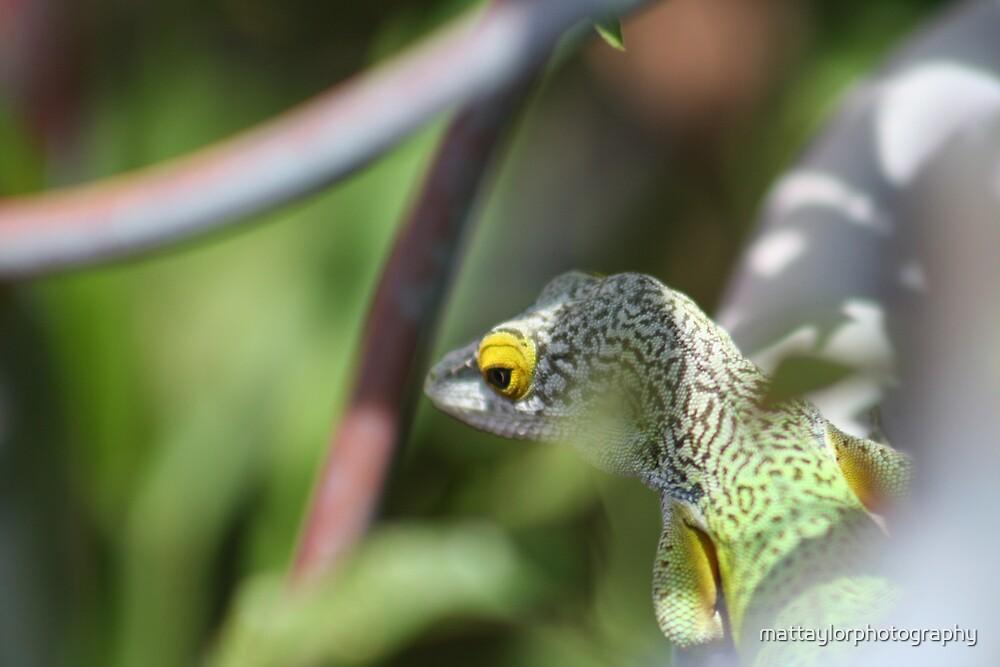 lizard by mattaylorphotography